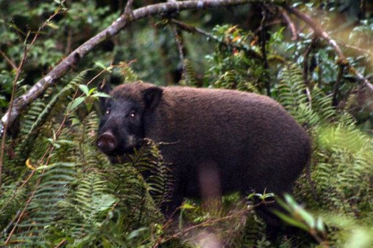 This wild boar is a real porker. Although they're the wild ancestor of domesticated pigs, these guys are much grumpier and can become aggressive if cornered.