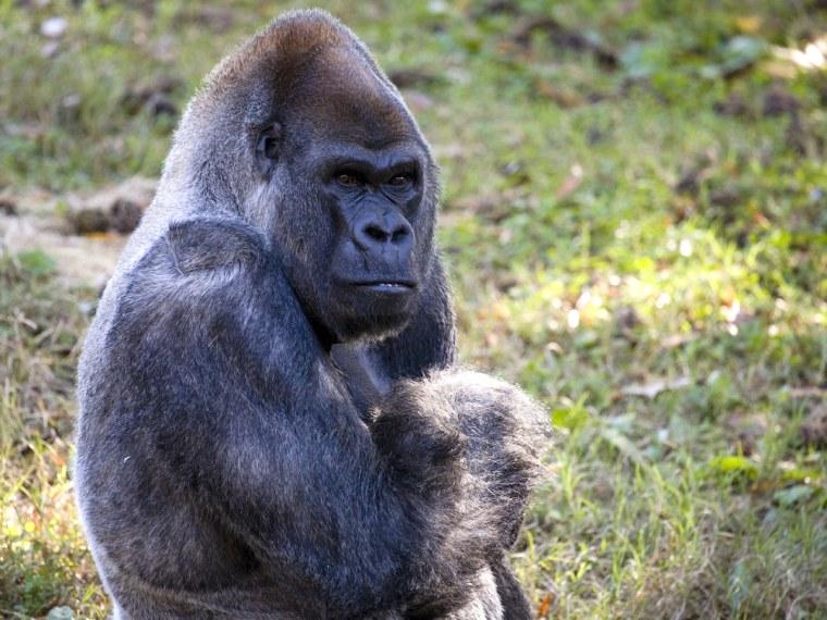 World's oldest male gorilla turns 52