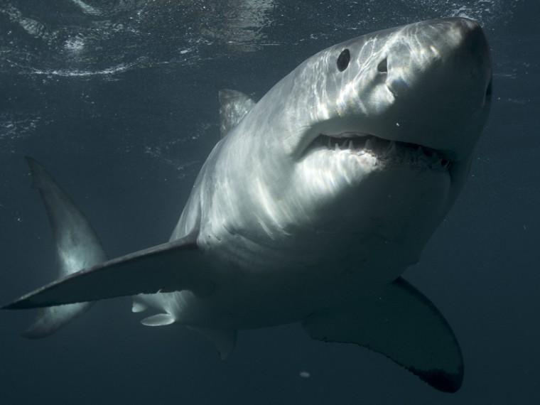 Image: Great white shark