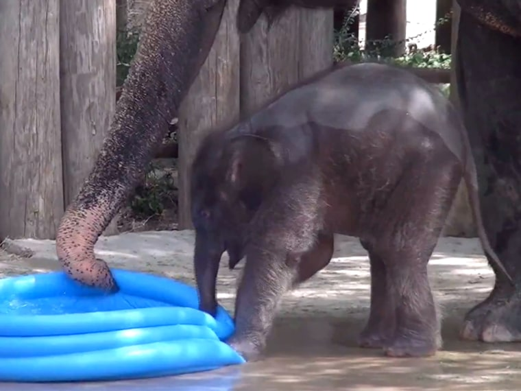 Baby Belle knows how to make a splash! Our 3-week-old Asian elephant enjoyed some pachyderm pool time with her mother Rasha.
