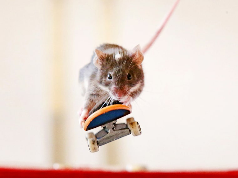 Mouse on a skateboard