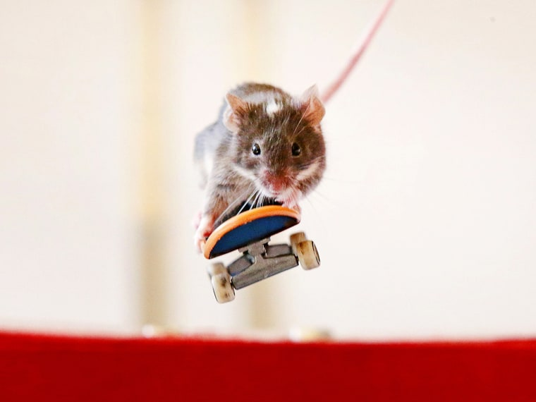 Mouse on a skateboard.