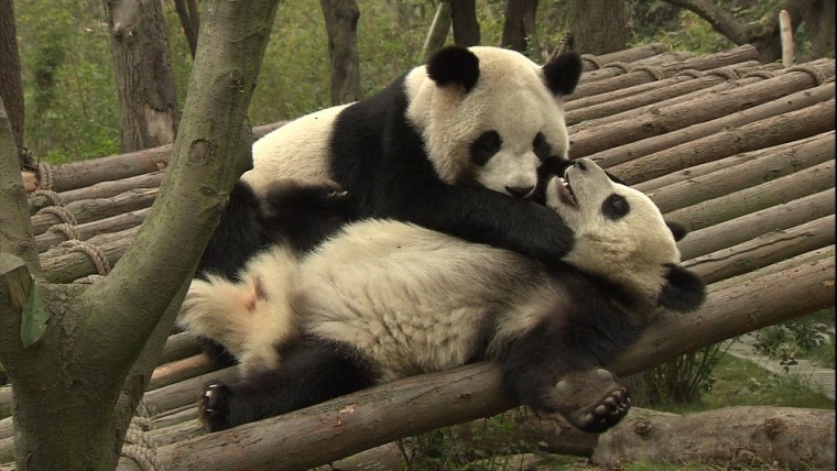 Hello 24-hour giant panda cam, goodbye productivity