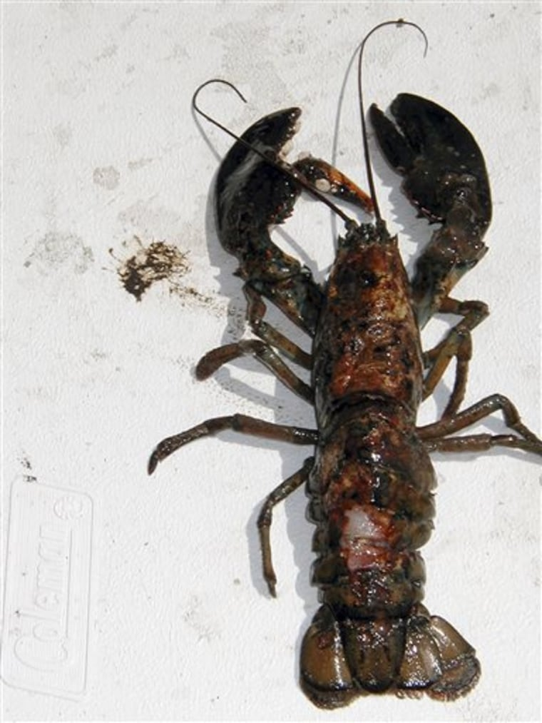 This undated photo provided by the University of Rhode Island in North Kingstown, R.I., shows a lobster with a diseased shell. The disease that has pl...