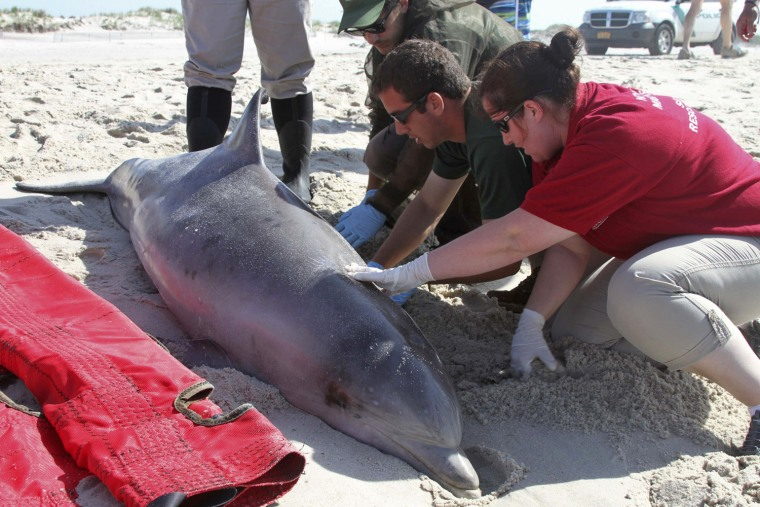 Officials examine a dead bottlenose dolphin that washed ashore on the Long Island, New York shoreline in this August 9, 2013 handout photo courtesy of...