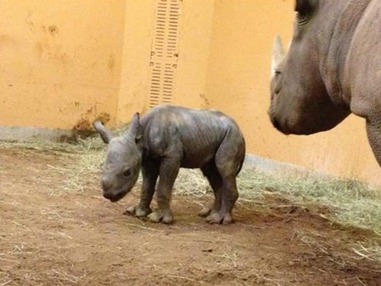 Eastern black rhino Andazi, right, and calf.