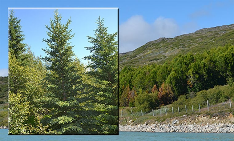 Trees in Greenland