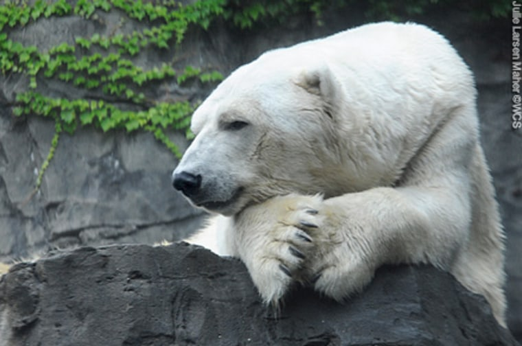Gus, the beloved Central Park Zoo polar bear known for his swimming patterns, has died. He was 27 and had battled health problems.