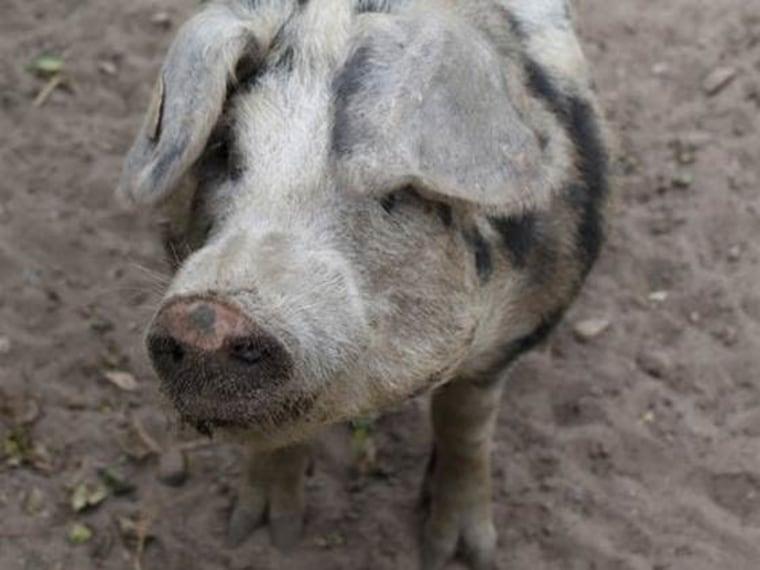 Image: Hog