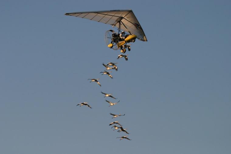 Image of migrating cranes