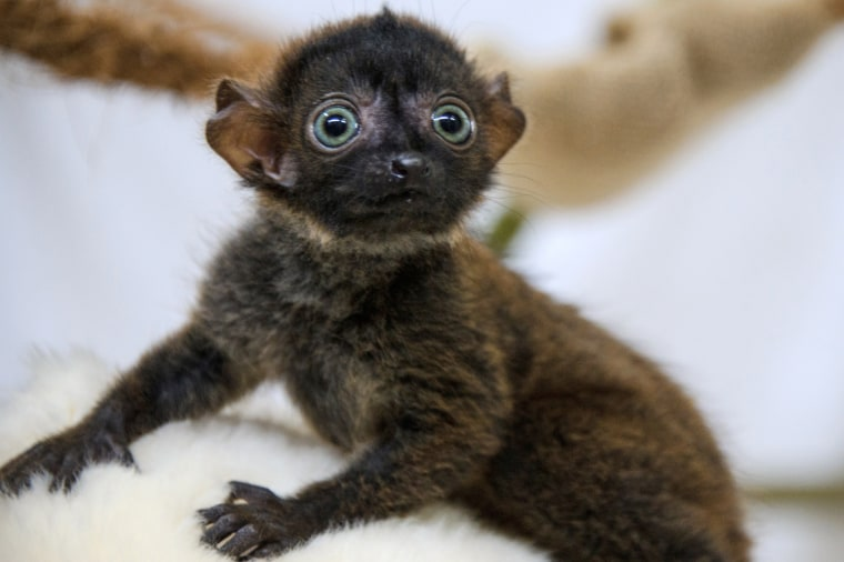 """""""Dimbi"""", a blue-eyed black lemur cub (Eulemur flavifrons) is pictured at the zoo of Mulhouse, northeastern France, on April 19, 2013. There's currentl..."""