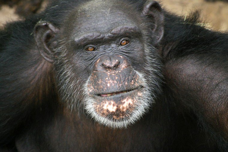 This undated image provided by Chimp Haven, Inc. shows Brent, a chimpanzee at Chimp Haven in Keithville, La. The 37-year-old chimpanzee who paints wit...