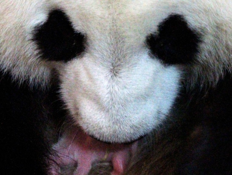 Image: Panda and cub