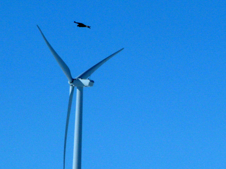In this April 18, 2013, photo, a golden eagle is seen flying over a wind turbine on Duke energy's top of the world windfarm in Converse County Wyo. The company has reported 10 golden eagle deaths since it started operation in 2009.