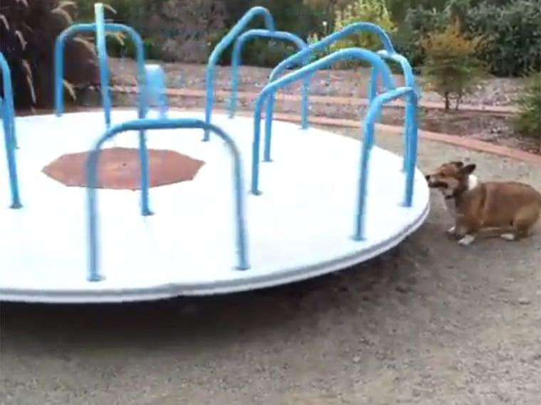 Meatball the corgi runs for over four minutes on a playground carousel.