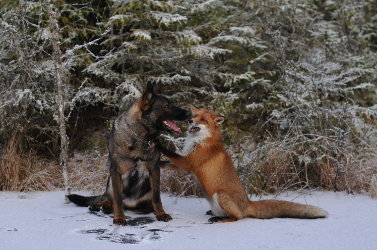 16 Photos Of German Shepherds' Unusual Friendships With Other Animals