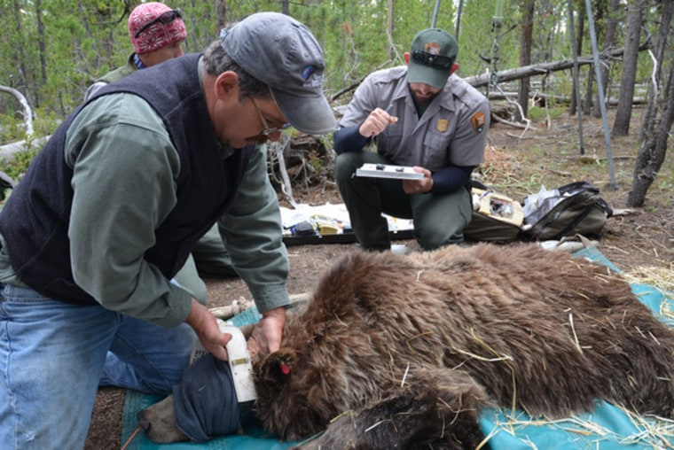 Grizzlies should stay on Endangered Species list, some scientists say