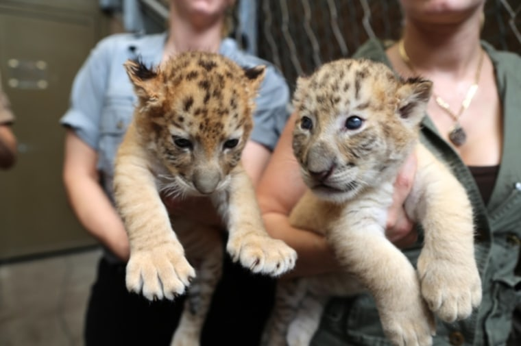 Children celebrate holiday season with a pair of liger cubs