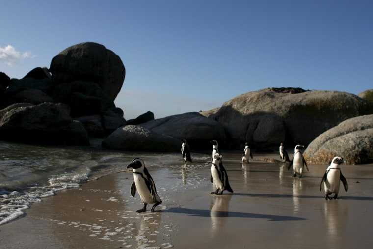 Penguins walk on Boulders Beach in Cape Town, South Africa in this June 2007 file photo.