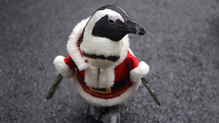 YONGIN, SOUTH KOREA - DECEMBER 18:  A penguin dressed in a Santa costume is paraded at Everland, South Korea's largest amusement park on December 18, ...