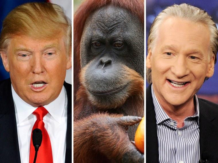 Donald Trump, an orangutan and Bill Maher.