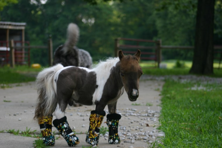 The Mini Horse That Could Roo Awaits Surgery With Casts On Each Leg