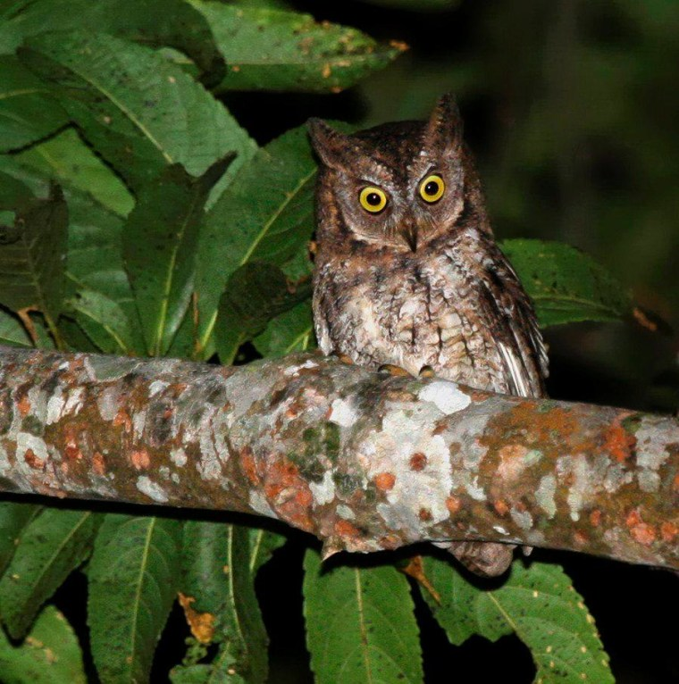The newly discovered Rinjani scops owl, or Otus jolandae.