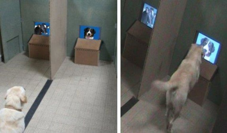 During the experiments, the dogs sat in front of the experimenter, on a line between the two screens. When hearing an order, the dogs expressed their choice by going to a given screen and putting a paw in front of the chosen image.