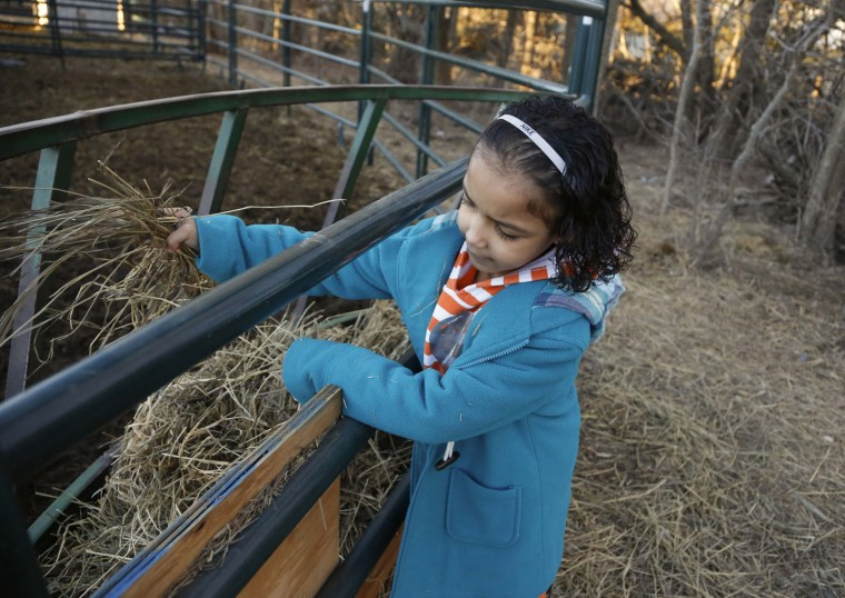 First-grade student Destiny Smith prepares hay to feed the cows.