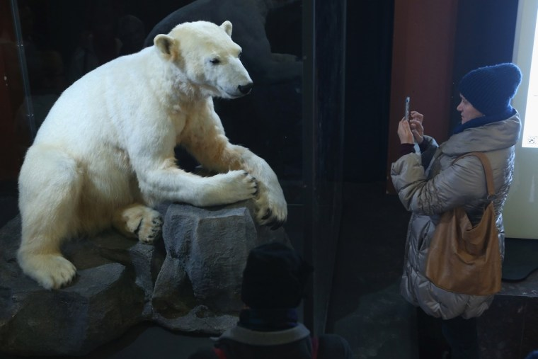 A visitor photographs a model of Knut the polar bear, that features Knut's original fur, at the Natural History Museum in Berlin, Germany.