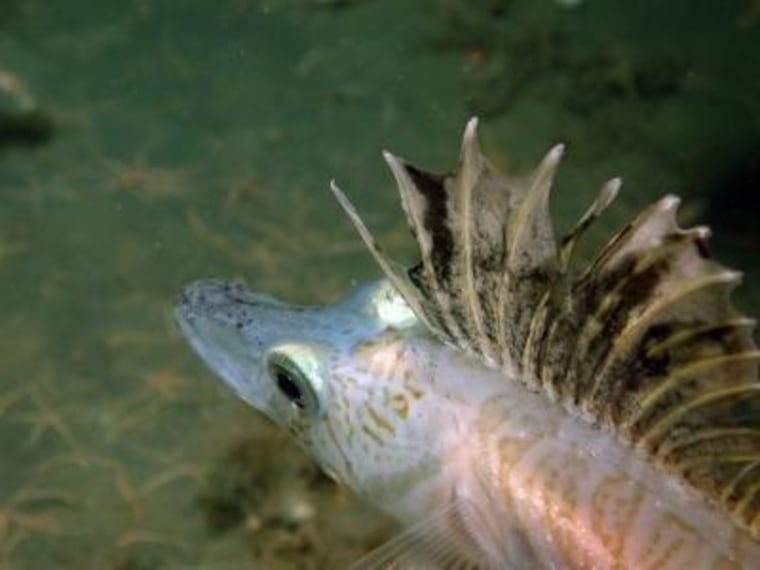 An icefish caught on camera on the Antarctic seafloor. The fish have a natural antifreeze chemical in their blood and body fluids that allow them to survive in frigid temperatures.