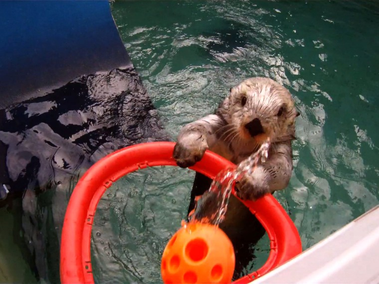 Eddie, a 15-year-old sea otter at the Oregon Zoo, practices shooting baskets at the Oregon Zoo. The activity is designed to help Eddie keep flexibility in his arthritic shoulder joints.