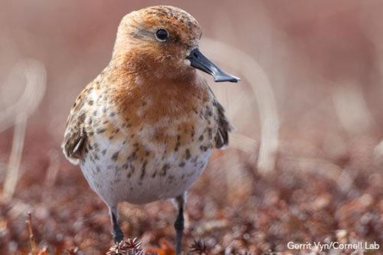 A spoon-billed sandpiper. One of the world's most critically endangered species, the 6-inch-tall (15 centimeters) bird faces extinction within 10 years.