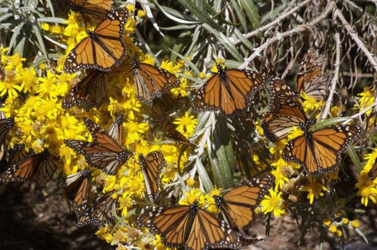 Migrant monarch butterflies tanking up on nectar as they migrate south.