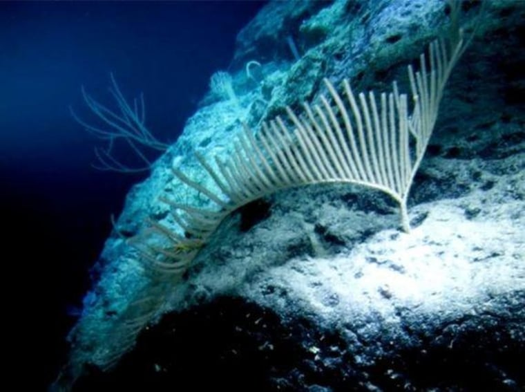 A sea fan near the Pacific atoll of Ulithi, at a depth of 3,600 feet (1.1 km). Findings from video of this dive and those of James Cameron's Challenger Deep expedition and of one to New Britain Trench were revealed yesterday.