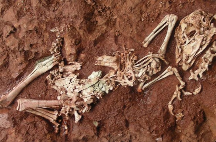 A fossil of the newly found Yulong mini dinosaur,