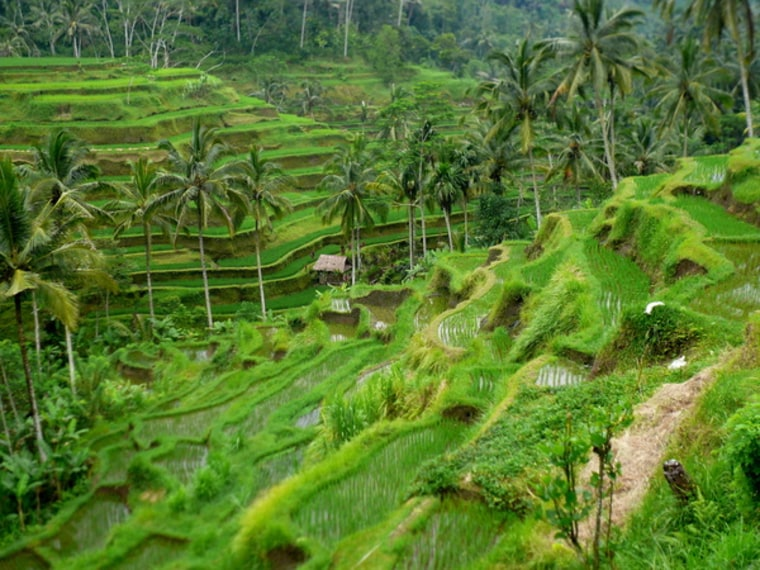 Image: Rice fields in Indonesia