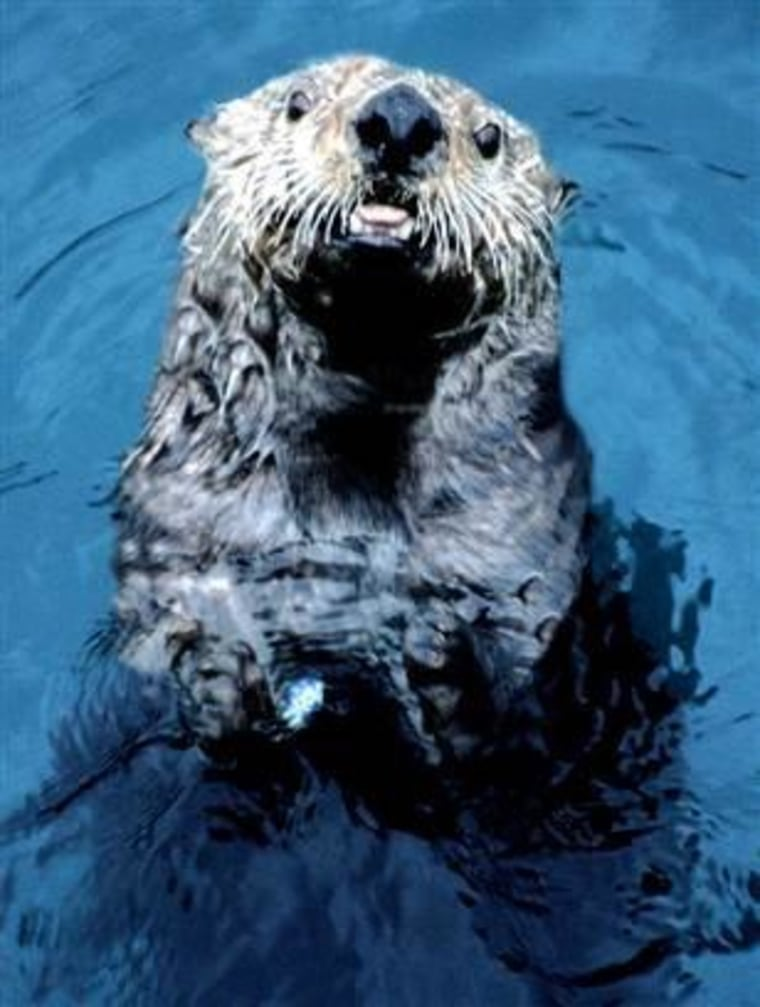 This Alaska sea otter from the waters off of the Aleutian Island of Adak looks healthy enough. Its brethren in England aren't faring so well.
