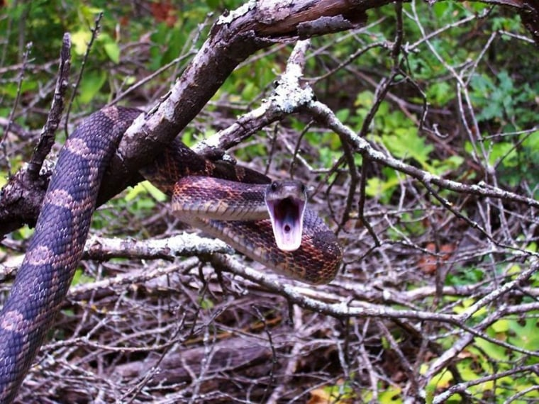 A ratsnake is shown here up in a tree. The species may benefit from a warmer climate, research suggests.