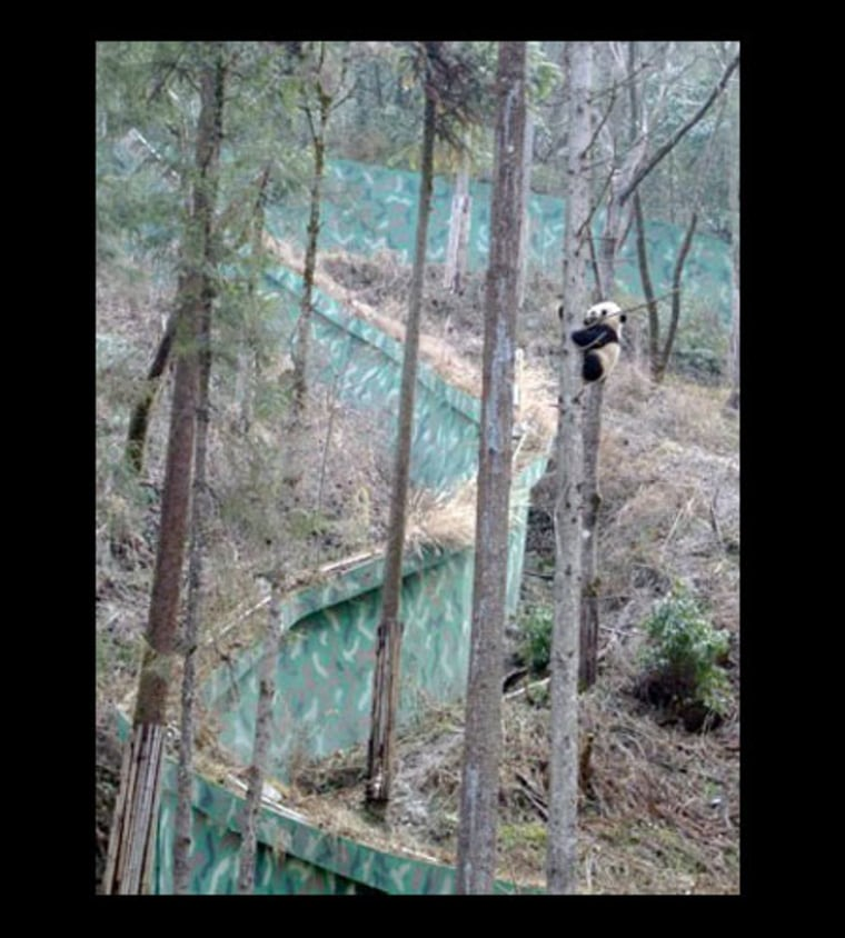 In Wolong in the mountains of China, baby pandas are off limits to all but the people who monitor and care for the animals. The pandas are raised in expansive enclosures, filled with trees, bamboo and steep slopes that mimic prime panda real estate.
