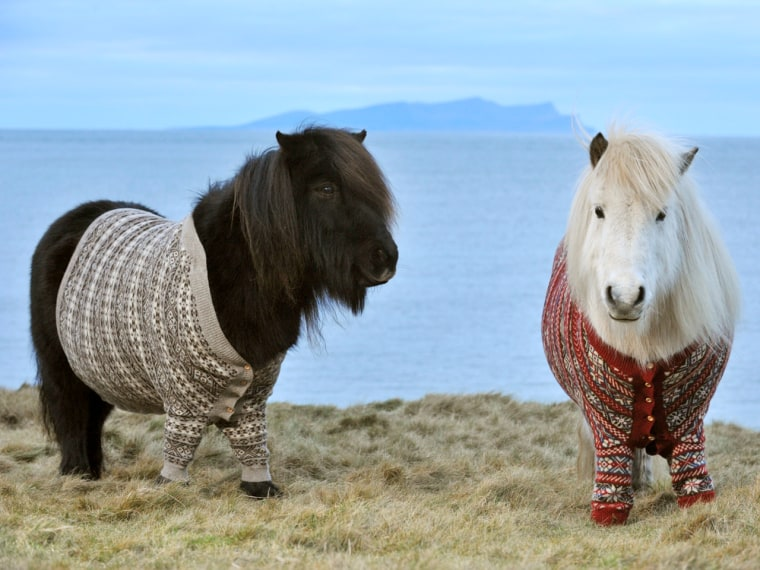 """""""Come visit us!!"""" (Yes, that's a direct quote from Shetland ponies Vitamin and Fivla, who donned sweaters to entice people to come to Scotland.)"""