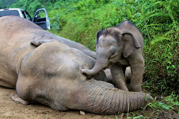 This handout photo taken and released by the Sabah Wildlife Department on Januray 29, 2013 shows a baby elephant staying close to a dead pygmy elephant in the Gunung Rara Forest Reserve, some 130 kilometers from Tawau in Malaysia's Sabah state. Ten endangered pygmy elephants have been found dead this month in Malaysian Borneo and are thought to have been poisoned, conservation officials said on January 29, 2013. Wildlife authorities in Sabah, a state on the eastern tip of the island, have formed a taskforce together with the police and WWF to investigate the deaths.