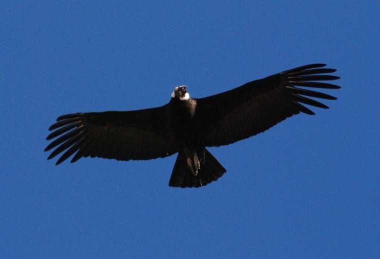 An adult male Andean condor in flight.