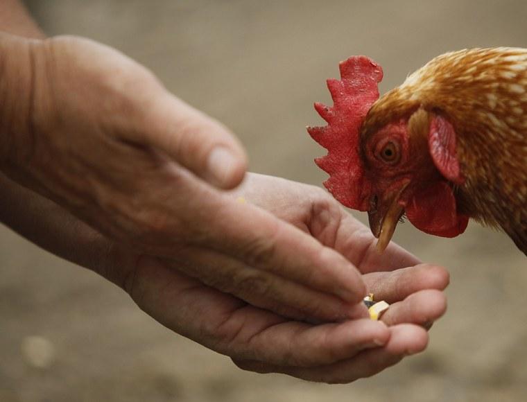 A chicken eats from the hands of director Susie Coston. (Niko J. Kallianiotis/Getty Images)