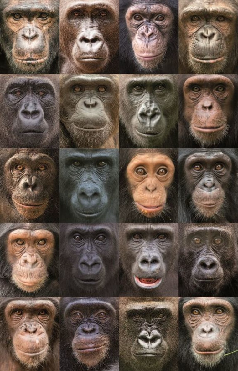 Chimp genetic history more complex than that of humans