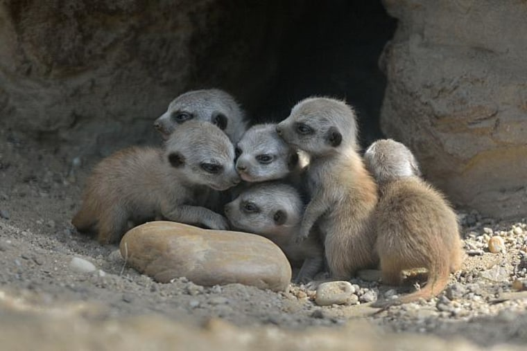 What's cuter than a baby meerkat? Six baby meerkats!