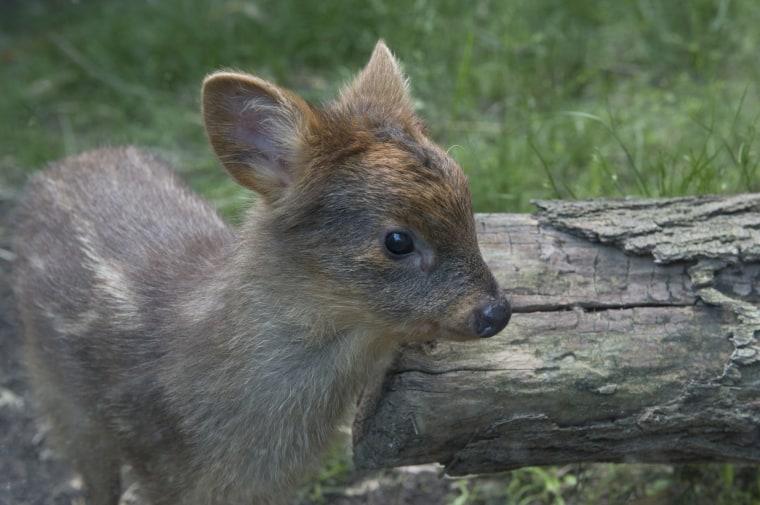 The baby pudu, the world's smallest species of deer.