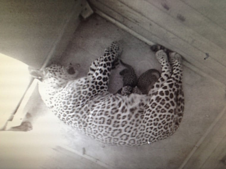 Two Persian leopard cubs born, first birth in 50 years