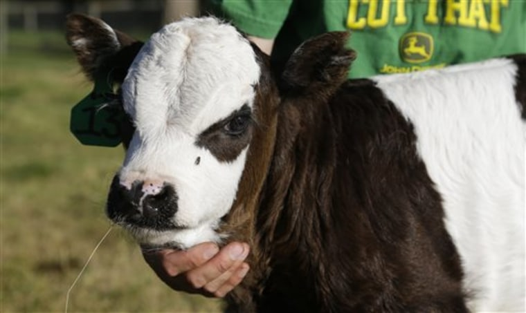 After seven years of tinkering, farmer perfects 'panda cow'