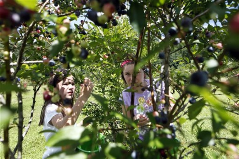 In this Wednesday, July 17, 2013 photo, Meredith James, 7, left, and her sister Grace Katherine James, 9, look for ripe blueberries in the pick-your-o...